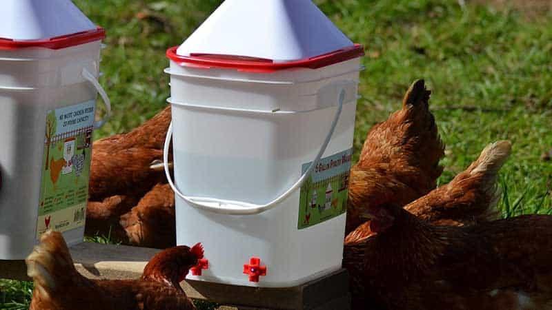 Best Chicken Watering System