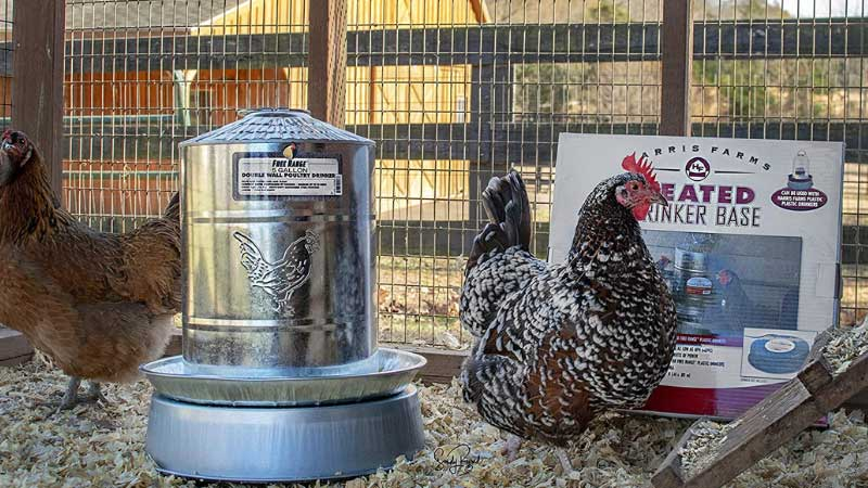 Best Heated Chicken waterer